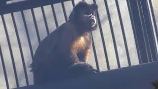 フサオマキザルの『カンペイ』と『オカムー』 (大宮公園小動物園) 2018年2月4日