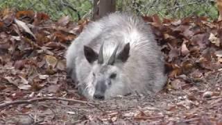 3頭のニホンカモシカ (茶臼山動物園) 2018年4月15日