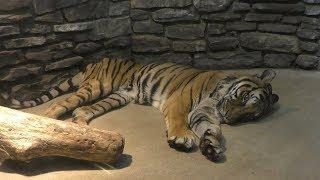 トラ の『ジャム』と『マドラス』 (いしかわ動物園) 2019年8月18日