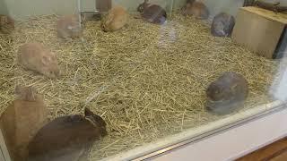 ウサギ/ネザーランドドワーフ (仙台市八木山動物公園/セルコホーム ズーパラダイス八木山) 2018年1月20日