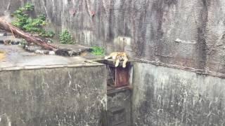 暑さでぐったりしているアムールトラ(豊橋総合動植物公園/のんほいパーク) 2017年8月5日