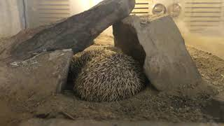 Four-toed hedgehog (MORIOKA ZOOLOGICAL PARK, Iwate, Japan) April 12, 2019