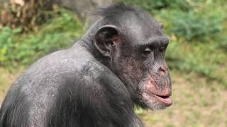チンパンジー (高知県立のいち動物公園) 2019年12月21日