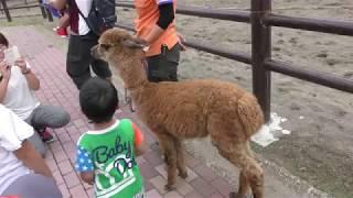 散歩中のアルパカ (千葉市動物公園) 2017年9月24日