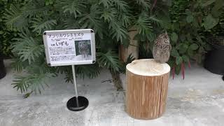 フクロウ・ミミズクたちの大きさ比較 (掛川花鳥園) 2017年12月10日