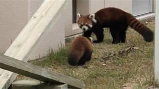 レッサーパンダ の親子『しらたま』と『令明』 (福知山市動物園) 2019年11月24日
