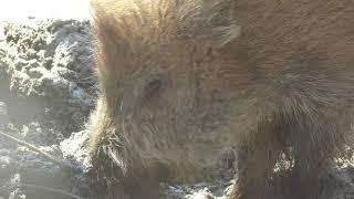 ニホンイノシシ の『ヨシオ』と『ゲンイチロウ』 (仙台市八木山動物公園) 2019年4月13日