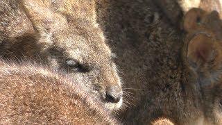パルマヤブワラビー (福山市立動物園) 2019年2月25日