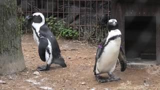 ケープペンギン (宮崎市フェニックス自然動物園) 2019年12月9日