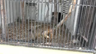 フサオマキザル の『マツ』と『じゅうごろう』 (大牟田市動物園) 2019年4月19日