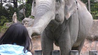 スリランカゾウ Sri lankan elephant