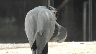 ハゴロモヅル (東武動物公園) 2020年9月18日