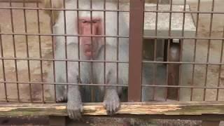 マントヒヒ (愛媛県立とべ動物園) 2018年3月25日