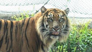 Sumatran tiger (KOBE ANIMAL KINGDOM, Hyogo, Japan) April 23, 2021
