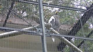 オオワシ (福岡市動物園) 2019年4月23日