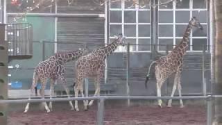 3頭のキリン (埼玉県こども動物自然公園) 2018年2月3日