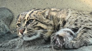 Fishing Cat (TOBA AQUARIUM, Mie, Japan) December 25, 2020