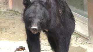 ニホンツキノワグマ の『イツキ』 (平川動物公園) 2018年7月29日