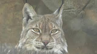 シベリアオオヤマネコ の『アル』と『ベル』 (神戸市立 王子動物園) 2019年5月24日