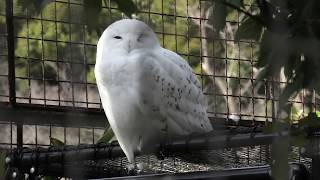 Snowy owl (MISAKI KOEN Amusement Park, Osaka, Japan) January 19, 2020