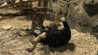 マレーグマ の『ウメキチ』 (札幌市 円山動物園) 2019年6月13日