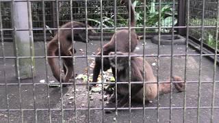 ジェフロイクモザル (宮崎市フェニックス自然動物園) 2019年12月9日