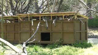 ワオキツネザル (熊本市動植物園) 2019年4月18日