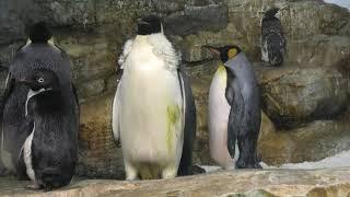 エンペラーペンギン と キングペンギン (アドベンチャーワールド) 2020年1月18日