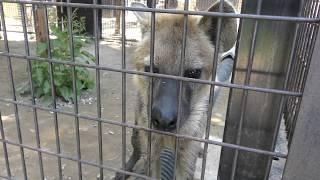 ブチハイエナ に餌やり体験 (ノースサファリサッポロ) 2019年7月9日