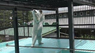ホッキョクグマ の食事の時間 (おびひろ動物園) 2019年7月6日