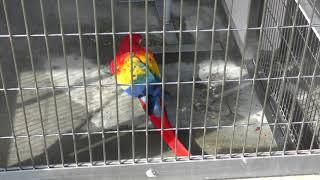 アカコンゴウインコ (日本平動物園) 2017年12月10日