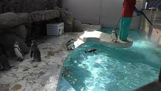 フンボルトペンギン (魚津水族館) 2019年8月15日