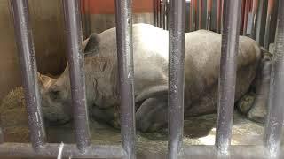 シロサイ の『サイカ』 (盛岡市動物公園) 2019年4月12日