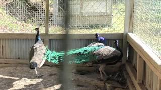 クジャク (ダチョウ園 ふれあいミニ動物園) 2019年12月9日