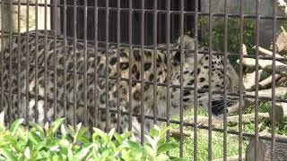 アムールヒョウ の『ポン』 (大牟田市動物園) 2019年4月19日