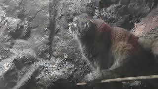 マヌルネコ (上野動物園) 2018年12月11日