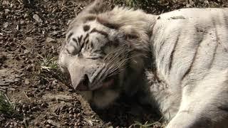 ホワイトタイガー に餌やり体験 (群馬サファリパーク) 2018年11月10日