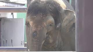 ボルネオゾウ の『ふくちゃん』 (福山市立動物園) 2019年2月25日