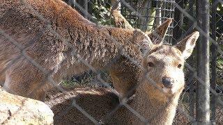 ホンシュウジカ の『チョイ』と『マチ』 (京都市動物園) 2019年1月26日