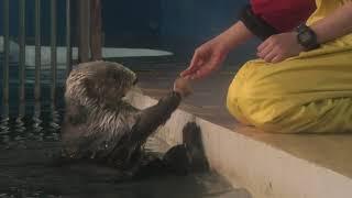 Sea otter (ADVENTURE WORLD, Wakayama, Japan) January 18, 2020