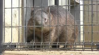 ウォンバットの『ももこ』 (茶臼山動物園) 2018年4月15日