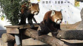 レッサーパンダ (野毛山動物園) 2017年12月16日