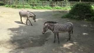 グレビーシマウマ (多摩動物公園) 2017年8月27日