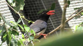 Blue Magpie (KOBE ANIMAL KINGDOM, Hyogo, Japan) April 23, 2021