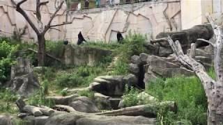 おやつをねだる2頭のツキノワグマ (みさき公園) 2017年8月26日