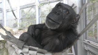 チンパンジー (福岡市動物園) 2019年4月23日