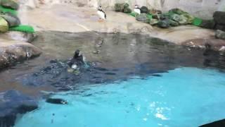 ひたすら泳ぐパフィンことニシツノメドリ (那須どうぶつ王国) 2017年7月23日
