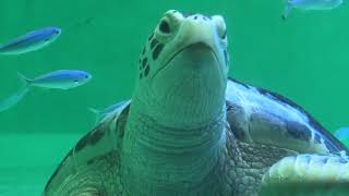 Green sea turtle Turtle (TOBA AQUARIUM, Mie, Japan) December 25, 2020