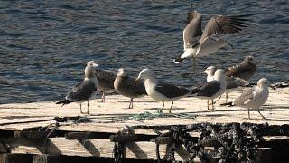水鳥たち (うみたま体験パーク・つくみイルカ島) 2019年12月8日