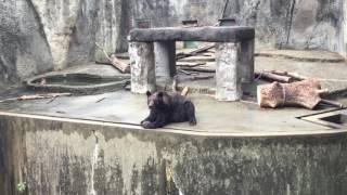 暑くてもなんとかなっているっぽいヒグマ(豊橋総合動植物公園/のんほいパーク) 2017年8月5日
